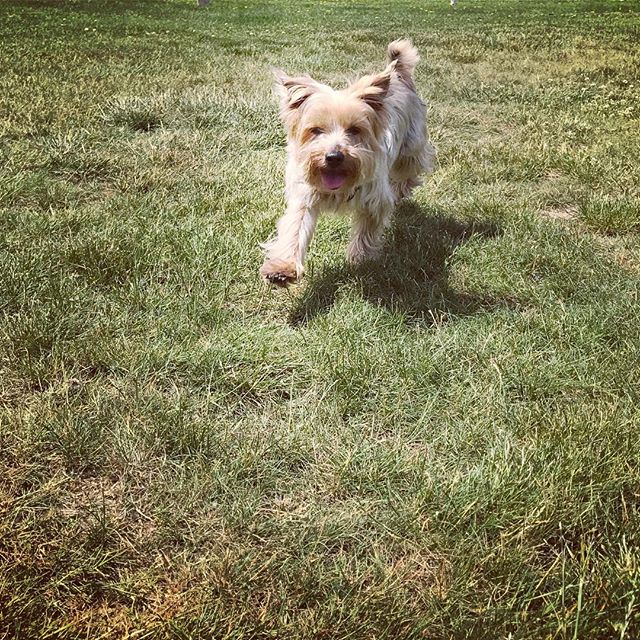 I don't know if there is anything this boy loves more than being off-leash in a park all by himself. . . . . #dog #dogs #dogsofinsta #dogsofinstagram #dogsofinstgram #instagramdogs #dogstagram #yorkie #yorkshireterrior #yorkiesofinstagram #yorkies