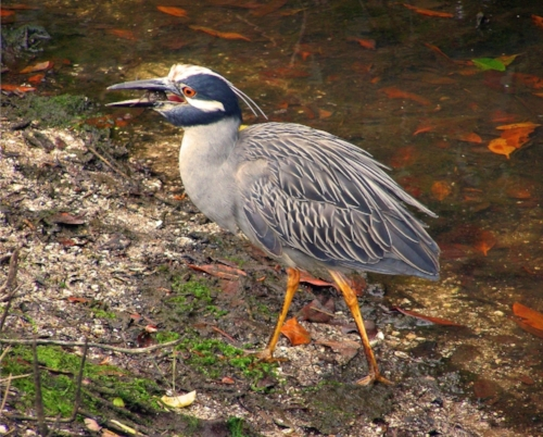 night heron - bogle.jpg