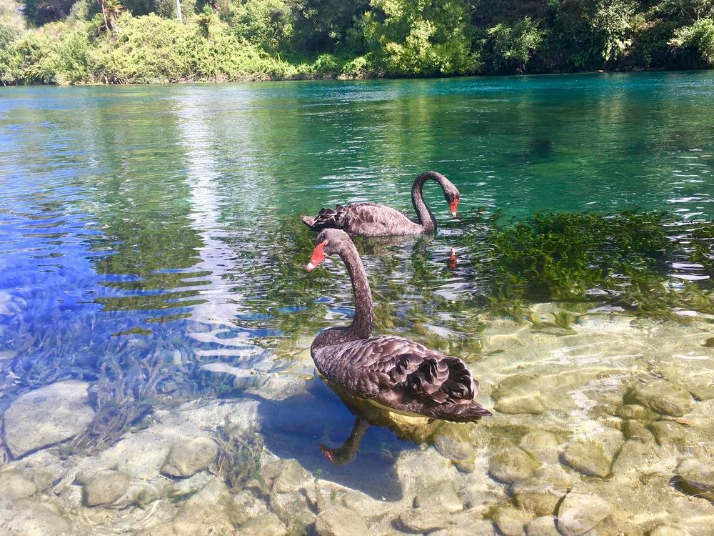 swans in waikato river