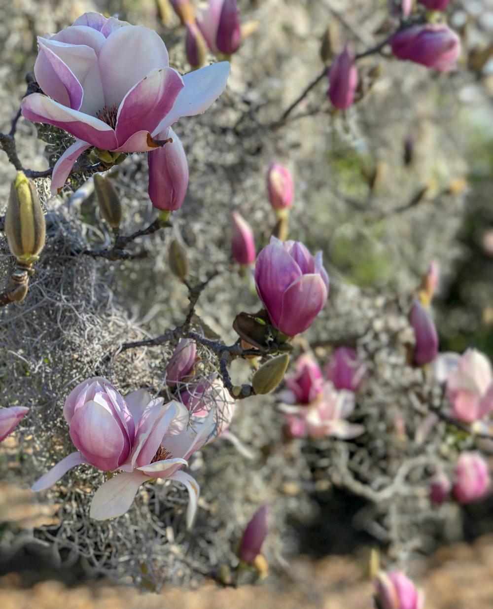 Magnolia Blossoms at Hampton Park
