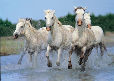 horses_wild_camargue_running