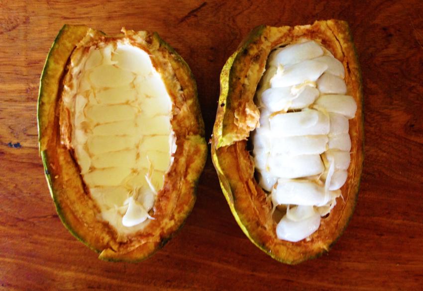 Cocoa-Bean-Belize.jpg