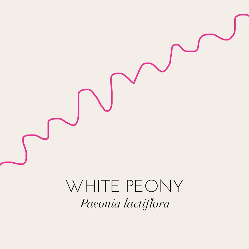 peony,-pink.png