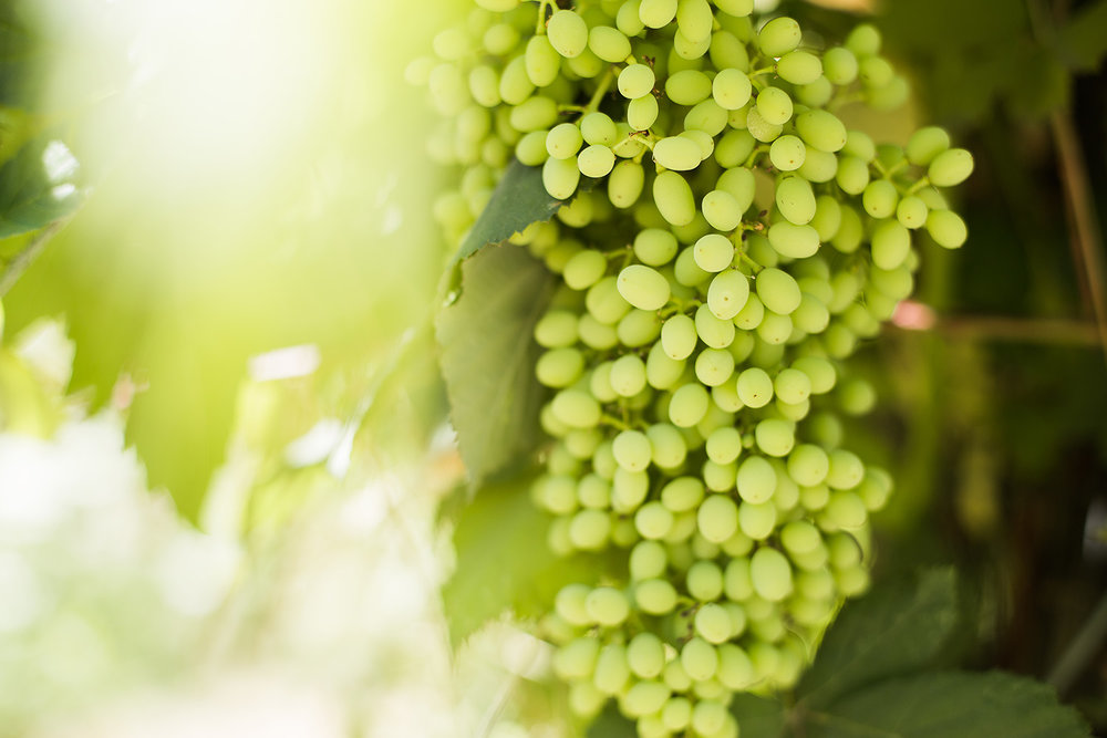 Grapes and sun flare_web res.jpg