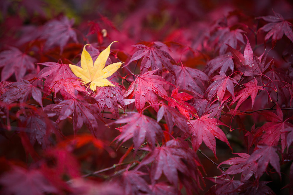 Red Berries-Red Maple 02_KLiK Concepts web.jpg