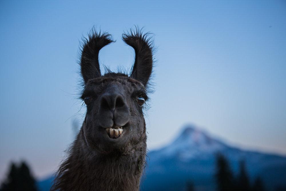 Llama and Mt Hood.jpg