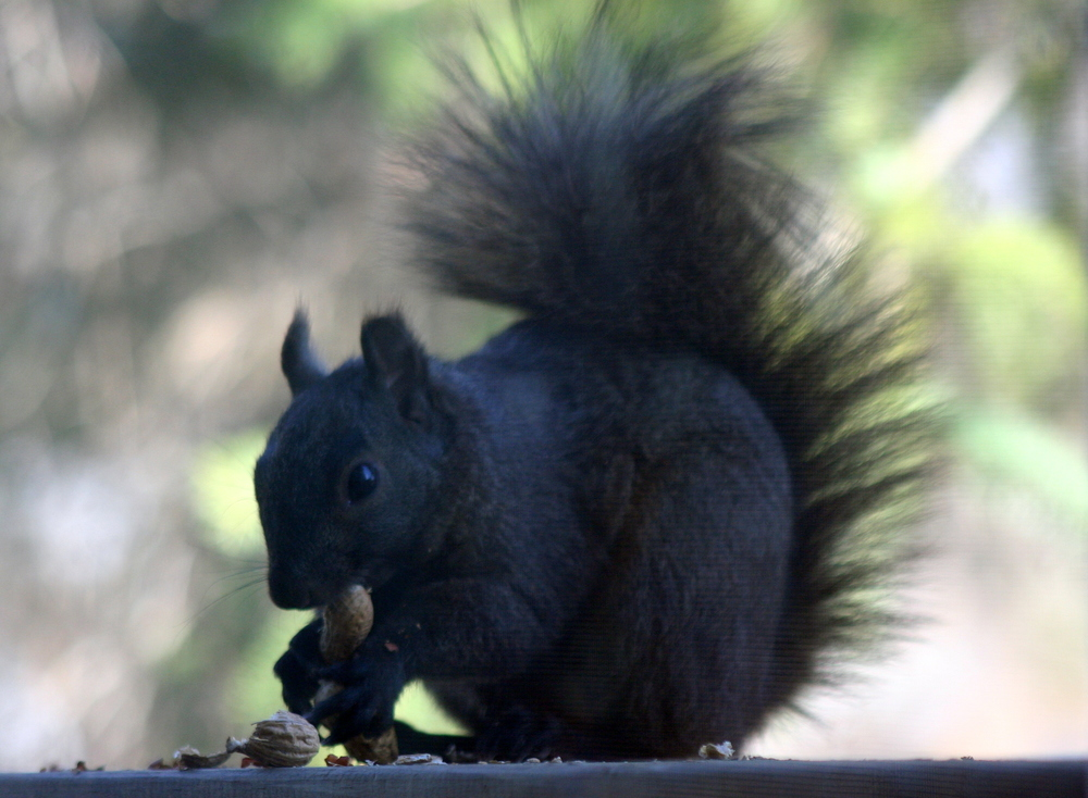 A black squirrel, not that  other  name - photo credit Robert Taylor