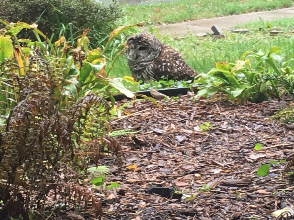 Sure enough, an owl, sitting in the grass. Excuse the poor quality of photo. It was taken through the glass front door. I have an 11 year-old child who washes his hands like an 11 year-old child, and then touches everything, including the glass door.