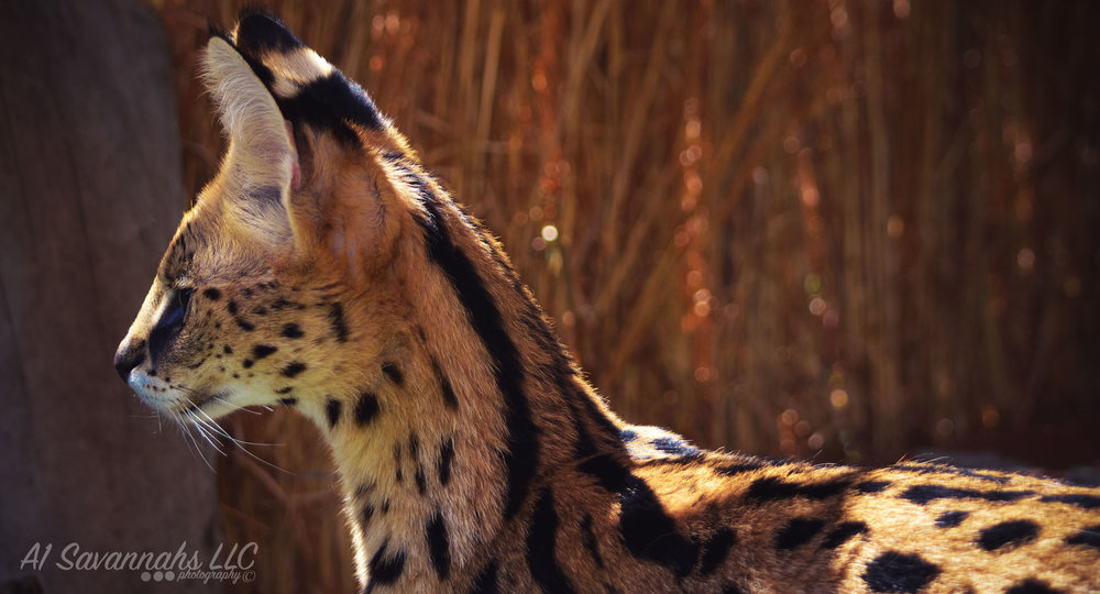 African Serval Athina looking tentatively