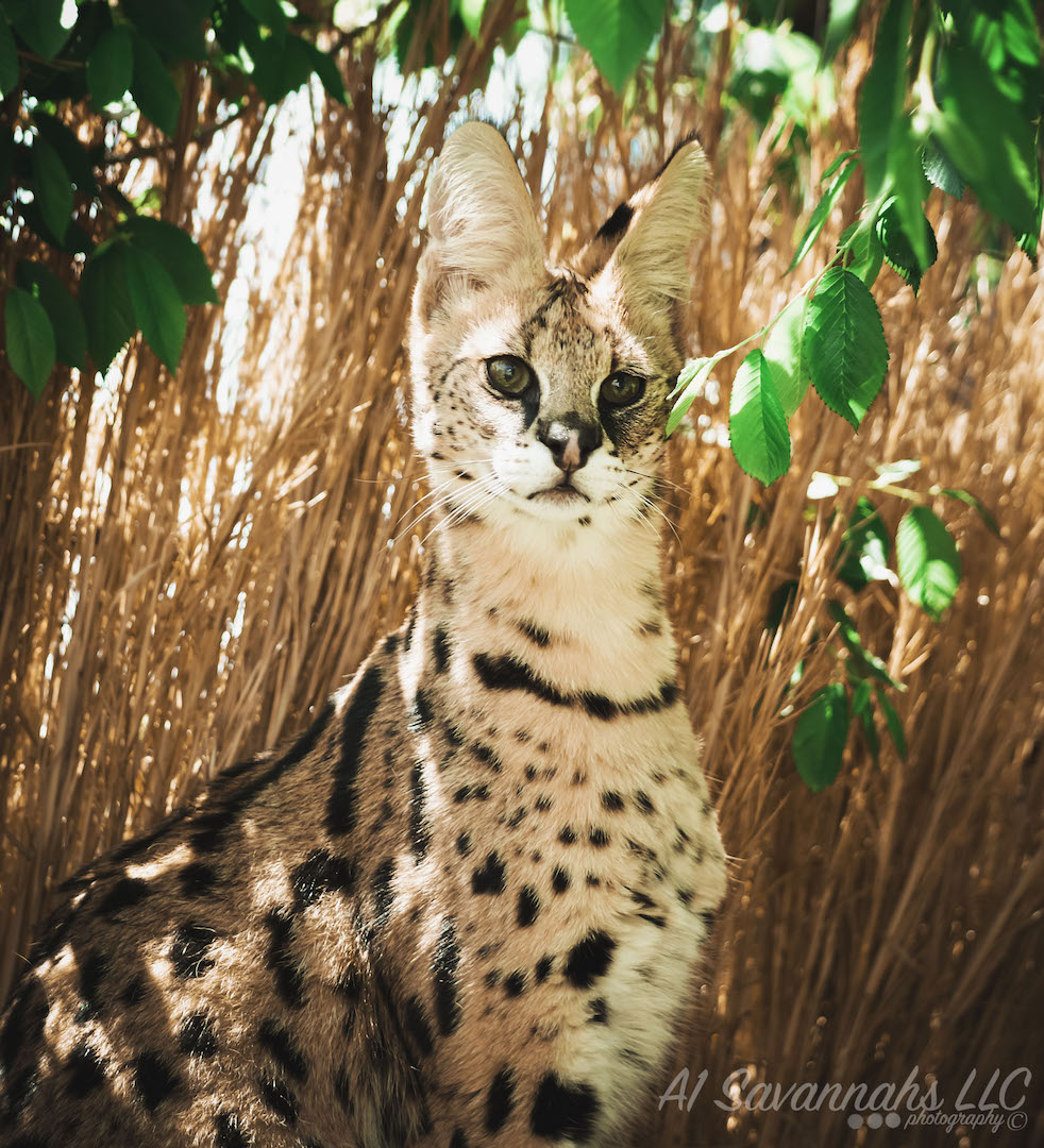Iris the African Serval sitting in the shade