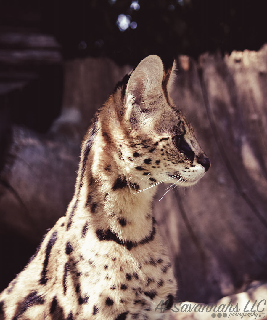 Serval Girls Outside 4.jpg