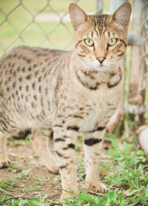 About Savannah Cats A1 Savannahs
