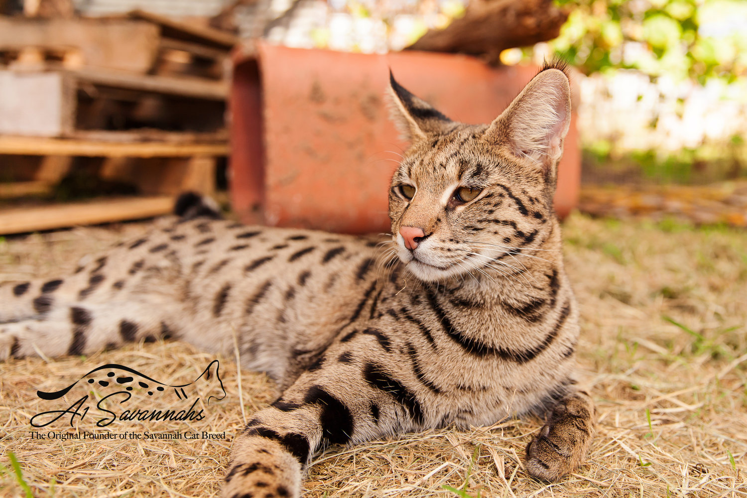 About Savannah Cats A1 Savannahs