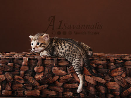 A1Savannahs kitten