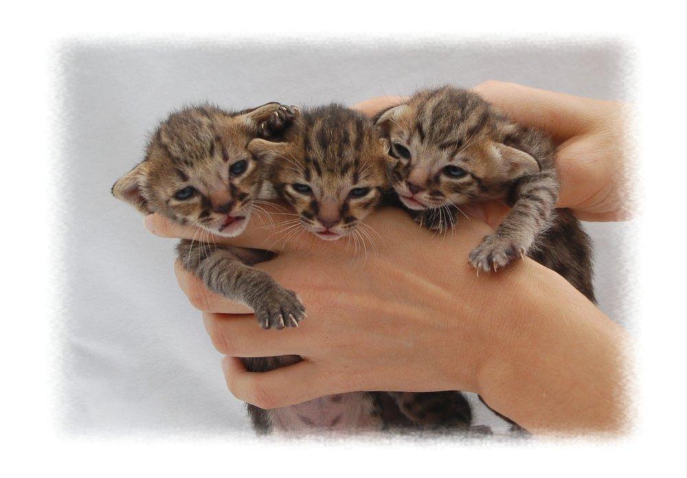 Copy of A1 Savannahs SBT Babies.jpg