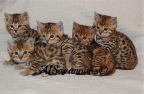 5 Bengal Babies 008.jpg