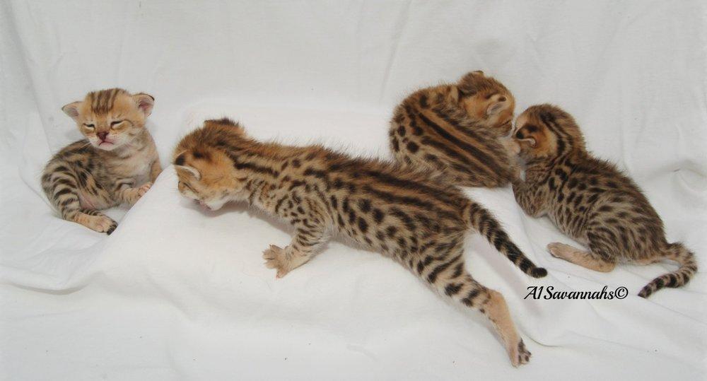 A1 Savannahs F1 kittens.jpg