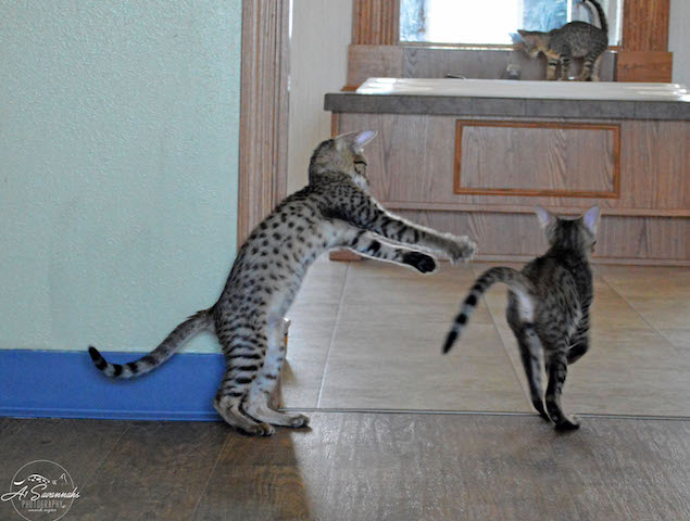 A1 Savannahs Kittens at Play