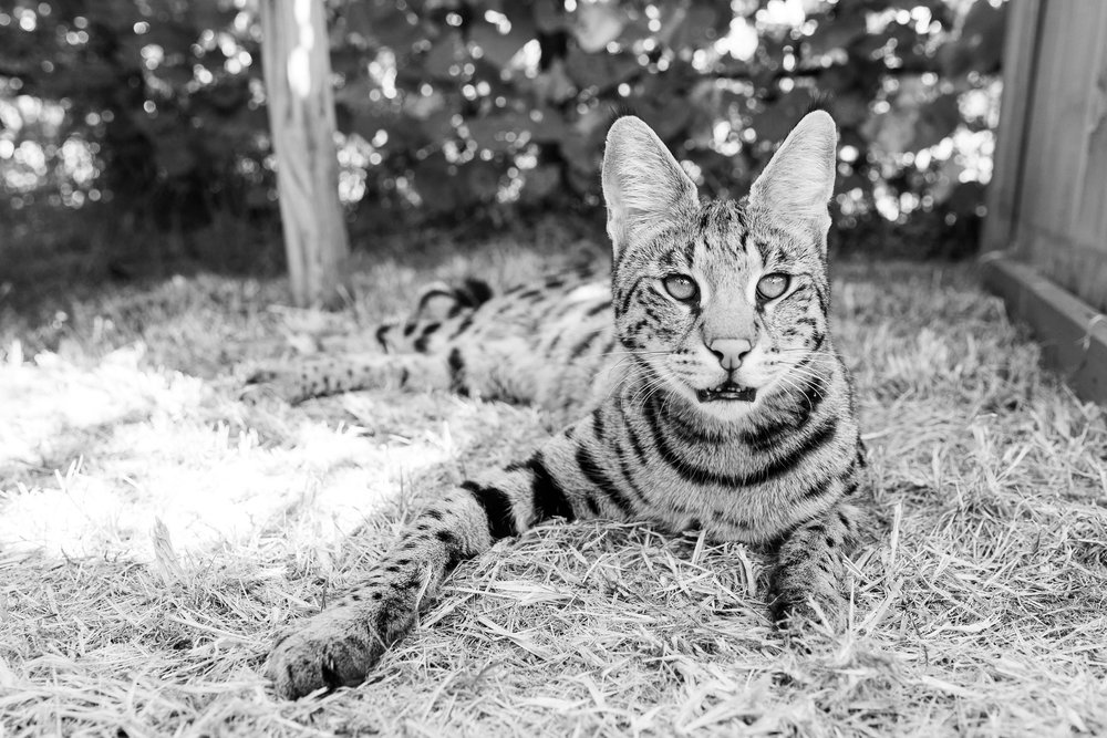 SavannahCat1.jpg
