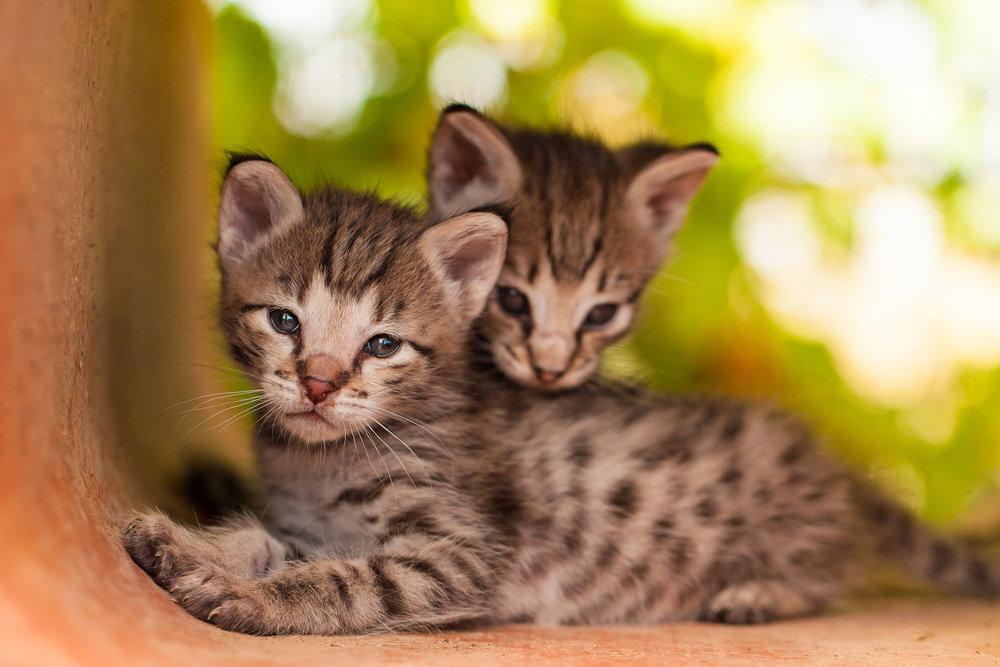 Sibling F2 savannah kittens snuggling