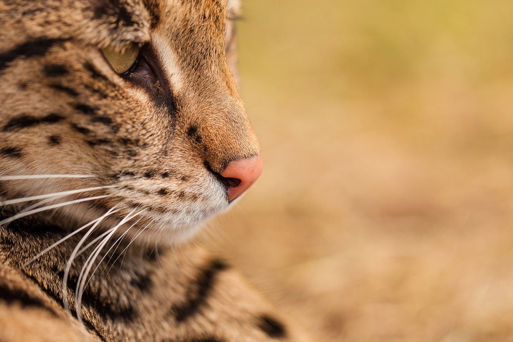 F1 Savannah Cat Pristine's face
