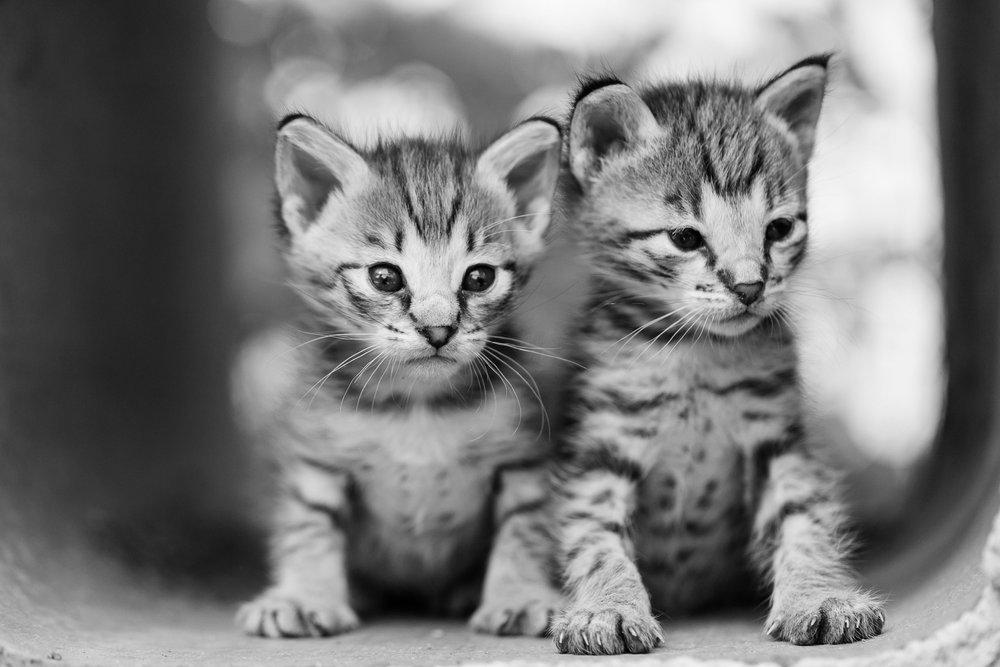 F2 Savannah Kittens side-by-side