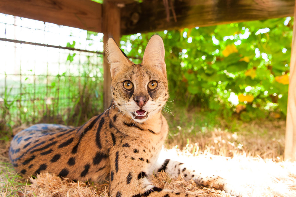 SavannahCat6.jpg