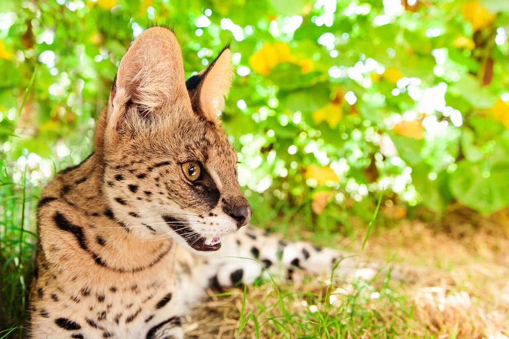 SavannahCat8.jpg