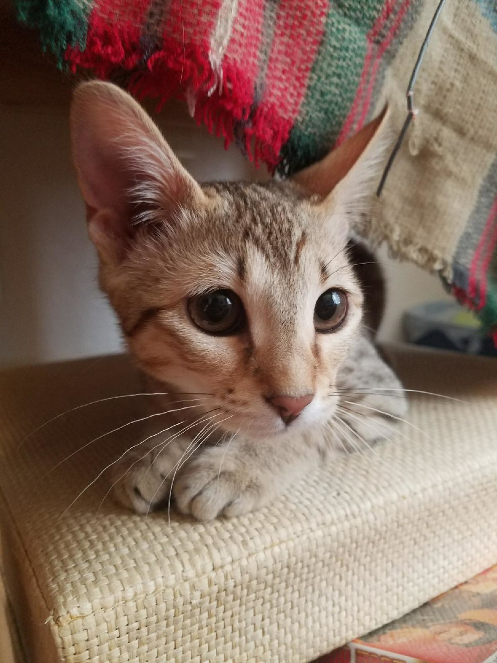A1Savannahs Alex (Zelda) Female F4 Savannah Kitten