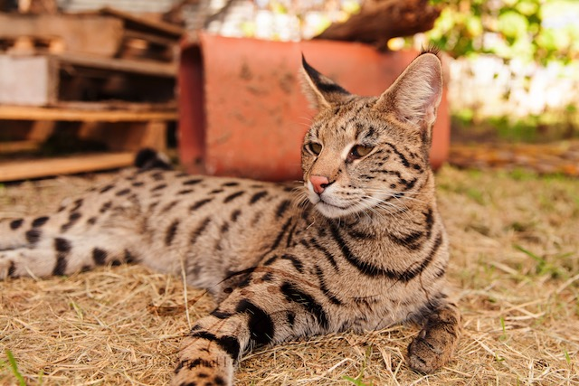 F1 savannah cat Pristine
