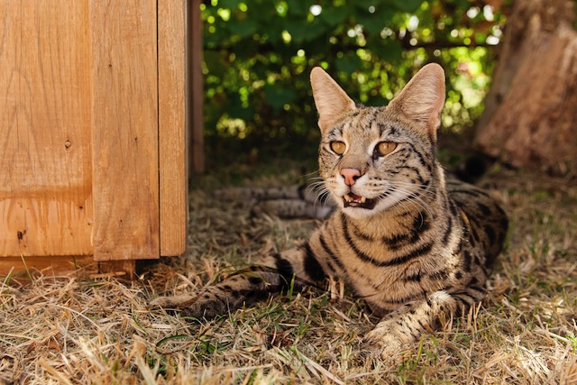 A1Savannahs F1 savannah cat Pristine
