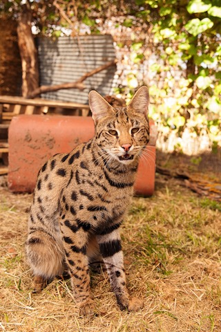 F1 Savannah Cat sitting tall