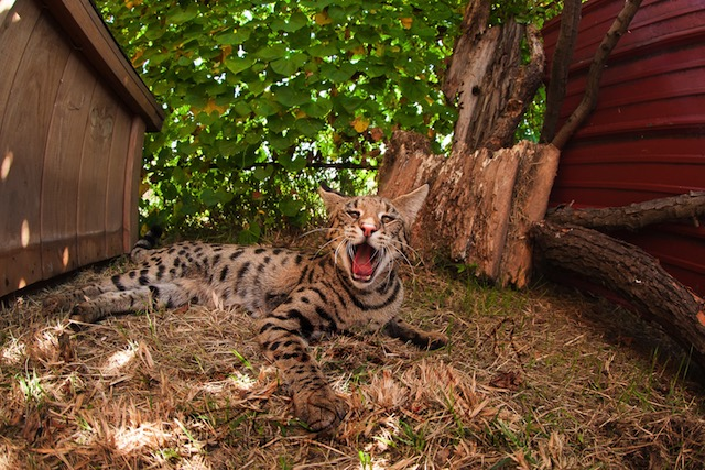 F1 Savannah cat from A1Savannahs in Ponca City, Oklahoma