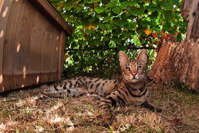 F1 Savannah Cat Enjoying the shade