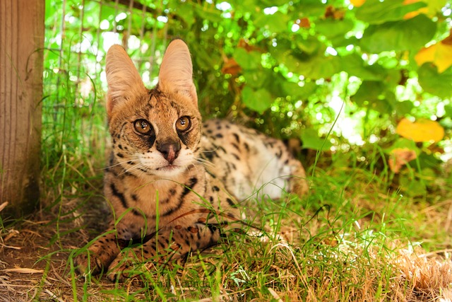 African Serval Amun showing off her large ears