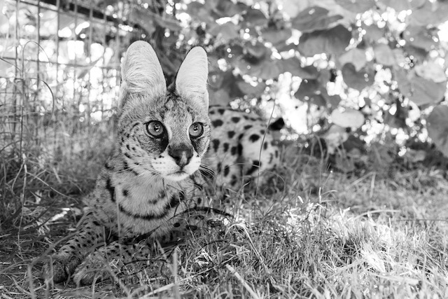 Amun the African serval in the shade
