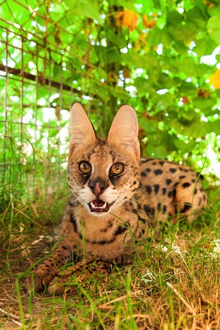 A1Savannahs Amun the serval is all ears