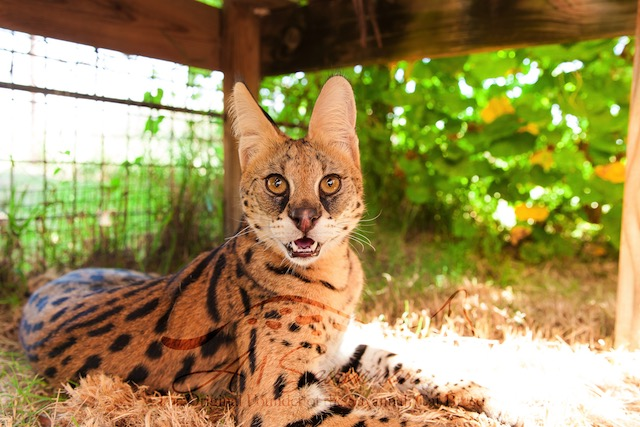Serval cat listening tentatively