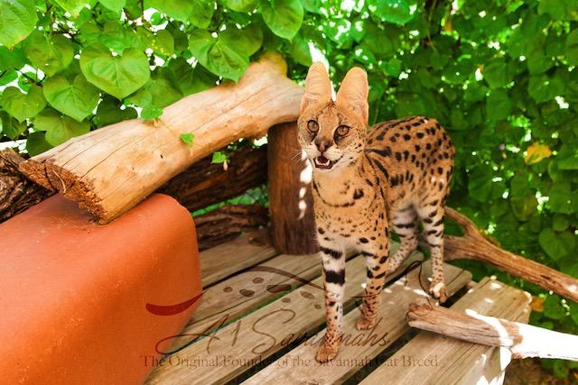 A1Savannahs serval Amun standing proud