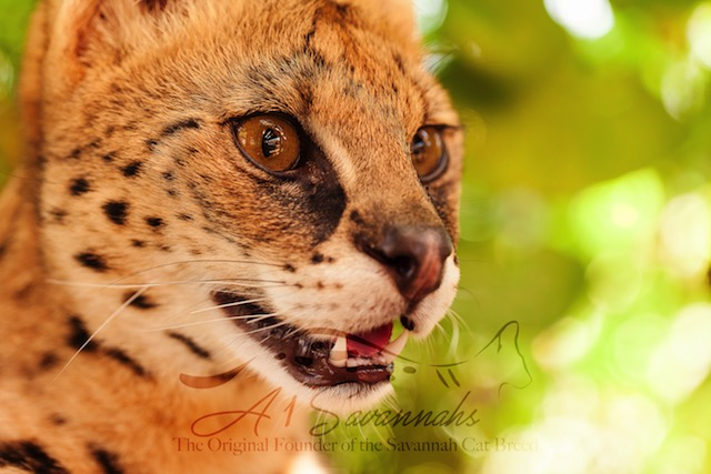 The sweet majestic face of Amun the serval