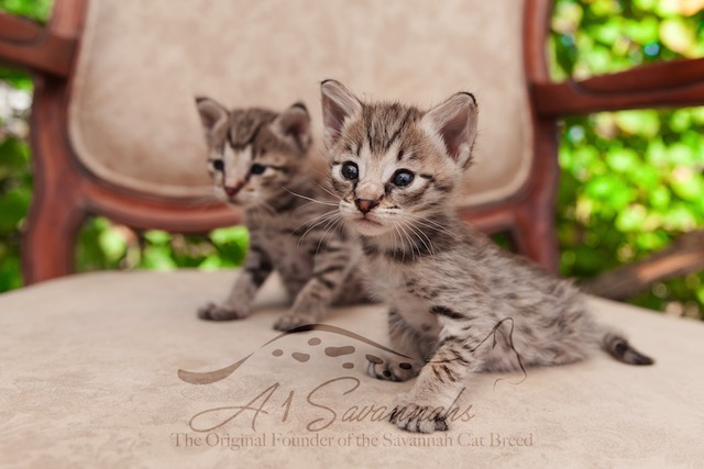Two F2 savannah kittens at A1Savannahs