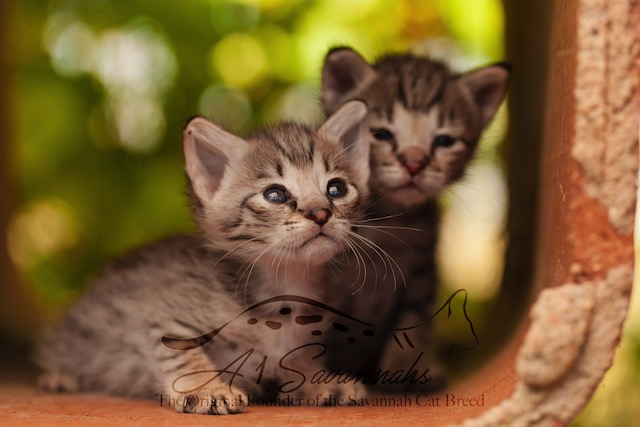 f2 savannah kittens in Ponca City, Oklahoma