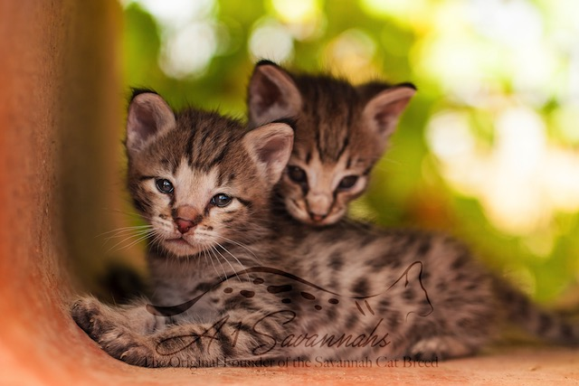 F2 savannah kittens snuggling