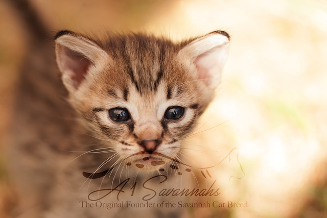 F2 savannah kitten showing his large ears
