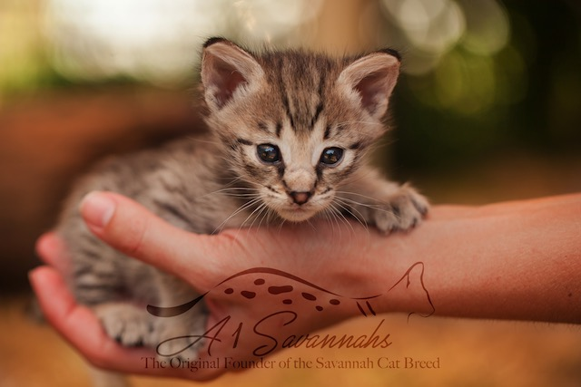 a sweet f2 kitten in the palm of her hand