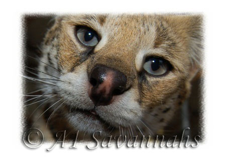 A1 Savannahs Serval mother