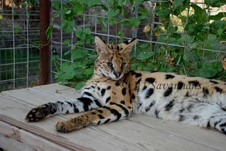 A1 Savannahs African Serval Morpheus relaxing.