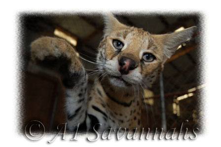 Mother of many of our Serval babies