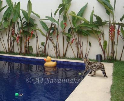 A1 Savannahs bred Serval kitten