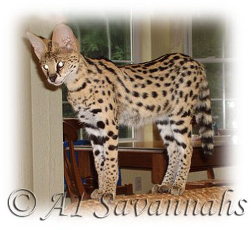 "A1 Savannahs Dea an African Serval is playing ""I'm the king of the castle""."